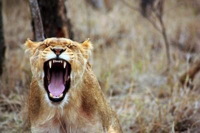 lion-350690_640