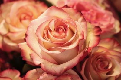 rose-3189198_1920