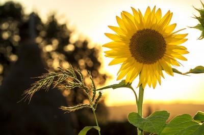 sunflower-g087aac2f5_1920